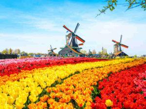 wiatrak i pole tulipanów